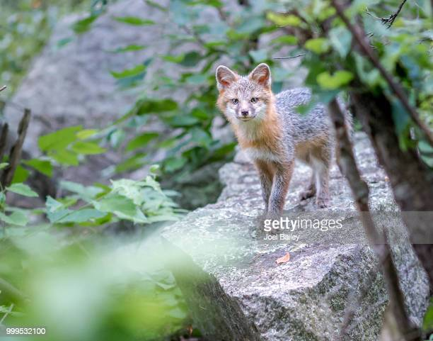 gray fox family in biddeford, me - gray fox stock photos and pictures