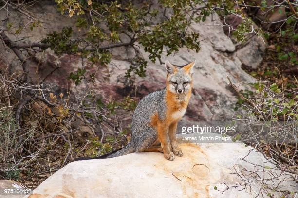 gray fox ii - gray fox stock photos and pictures