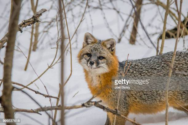 gray fox in biddeford, maine - gray fox stock photos and pictures