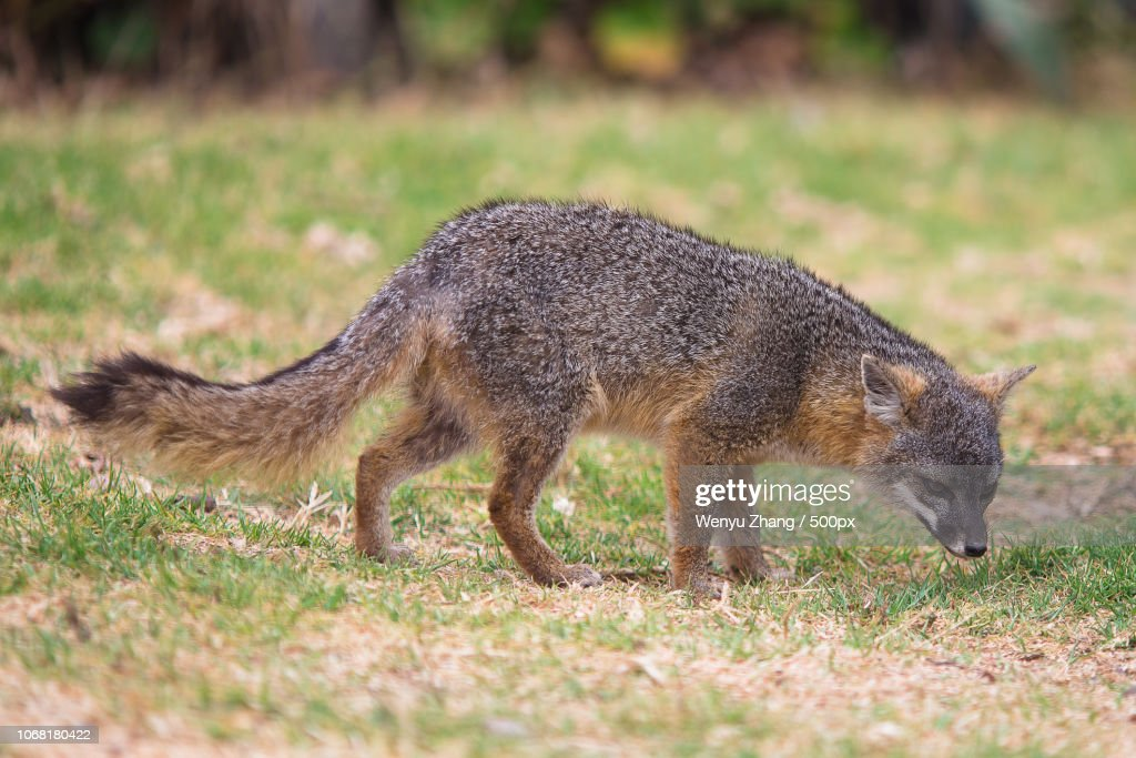 Gray fox in nature : Foto de stock