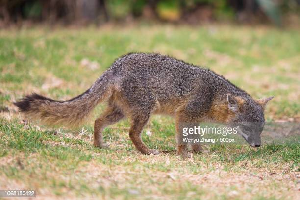 gray fox in nature - gray fox stock photos and pictures