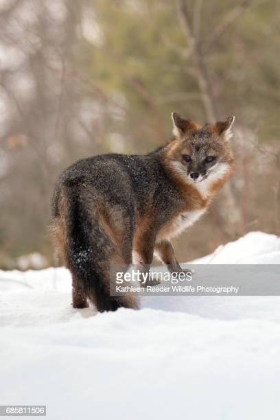 gray fox in snow - gray fox stock photos and pictures