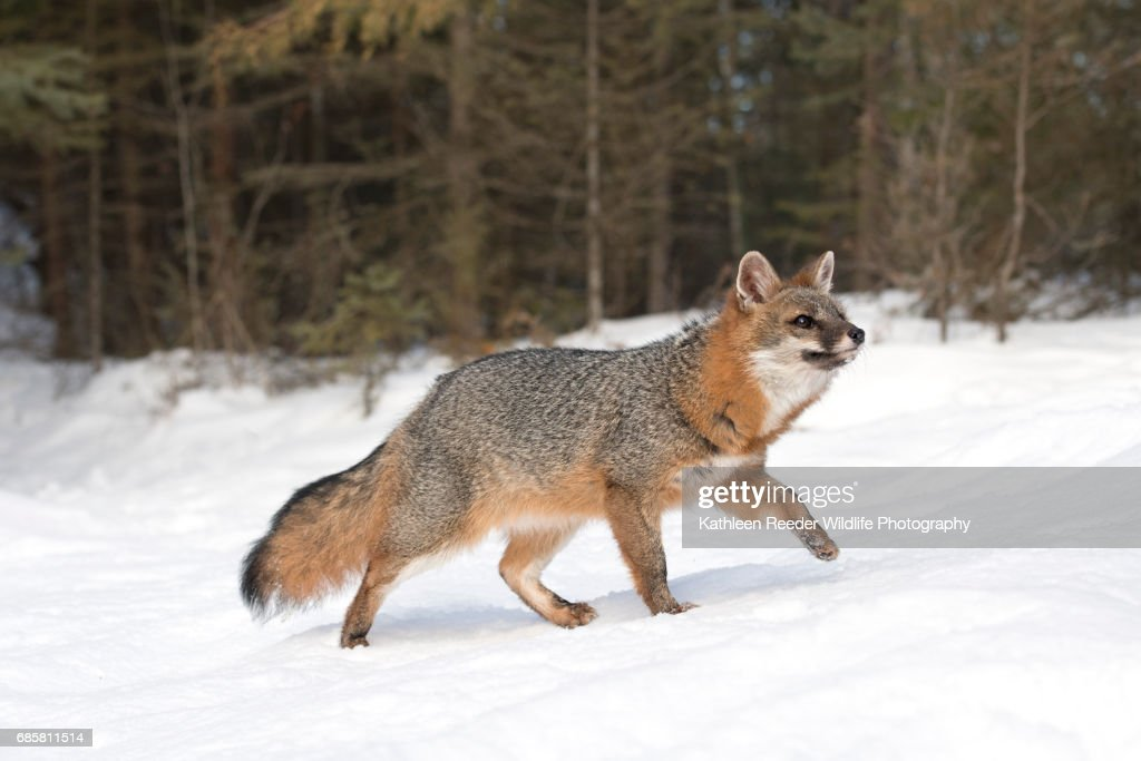 Gray Fox in Snow : Stock Photo