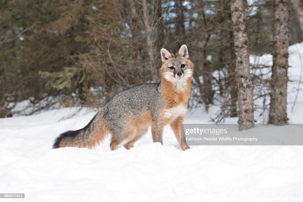 Gray Fox in Snow : Stock Photo