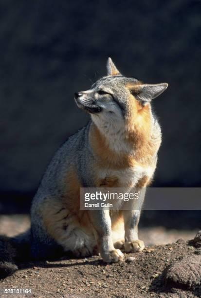 gray fox in sun - gray fox stockfoto's en -beelden