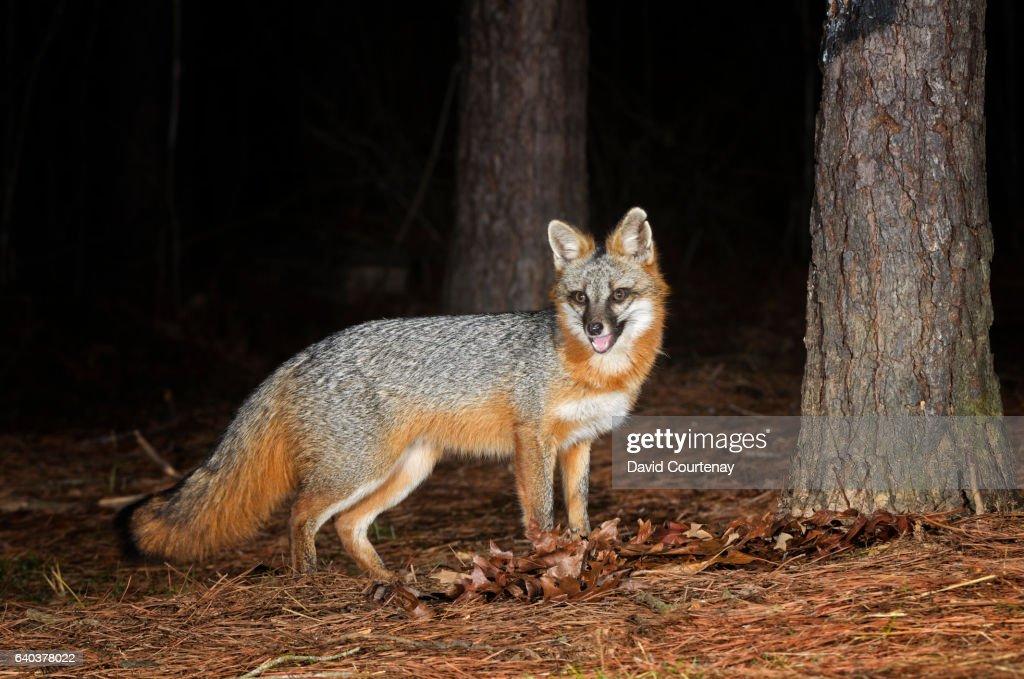 Gray Fox in woodland : Stock Photo