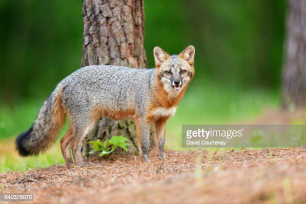 gray fox in woodland - gray fox stock photos and pictures