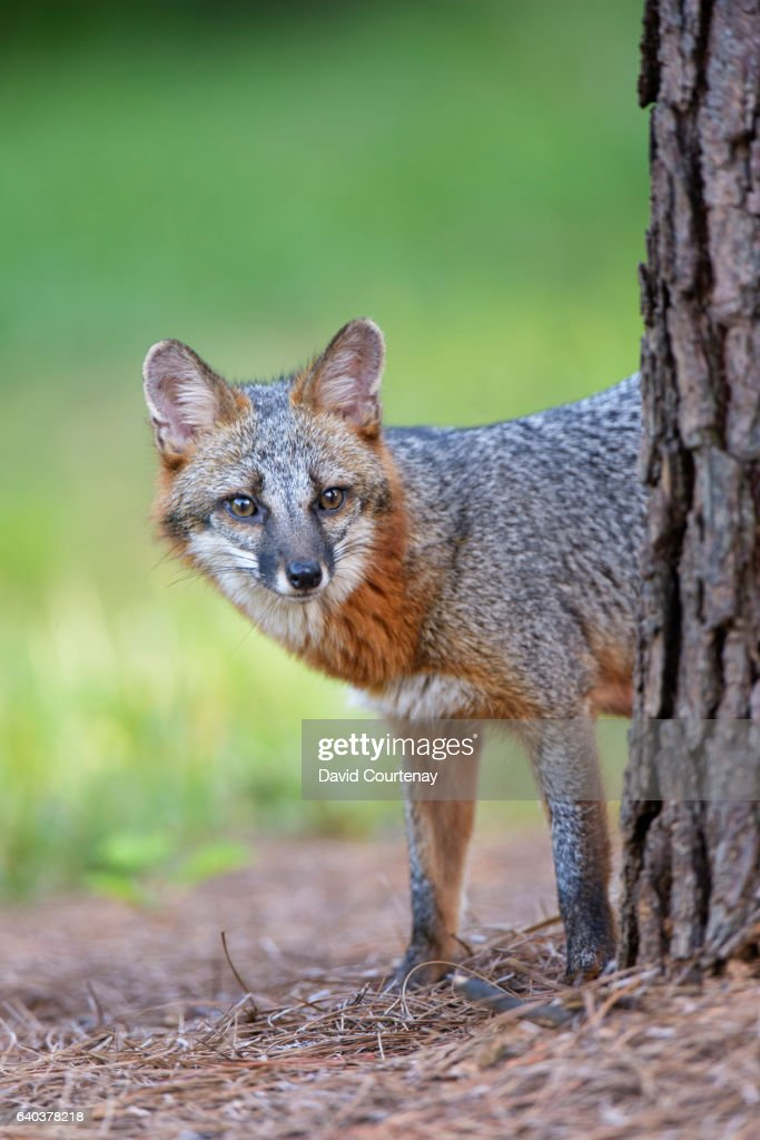 Gray Fox in woodland : Stock Photo