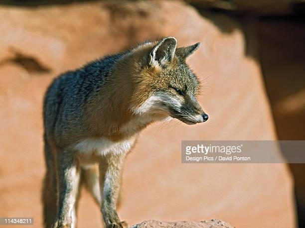 gray fox (urocyon cinereoargenteus) - gray fox stock photos and pictures