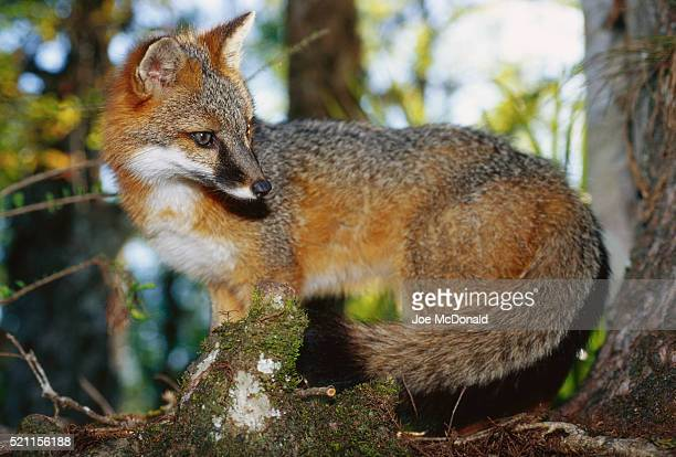 gray fox - gray fox stockfoto's en -beelden
