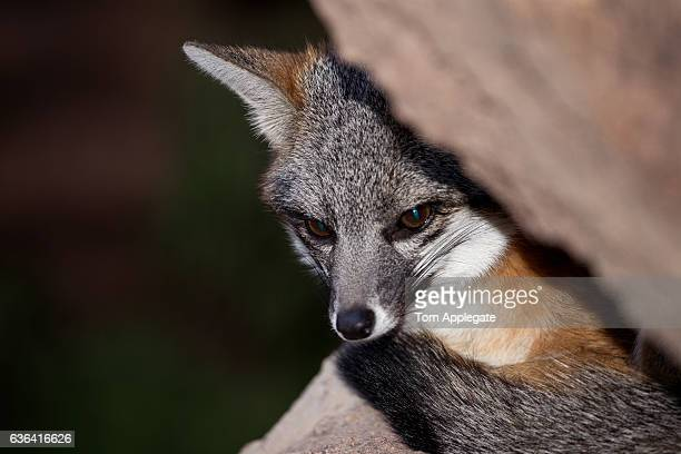 gray fox - gray fox stock photos and pictures