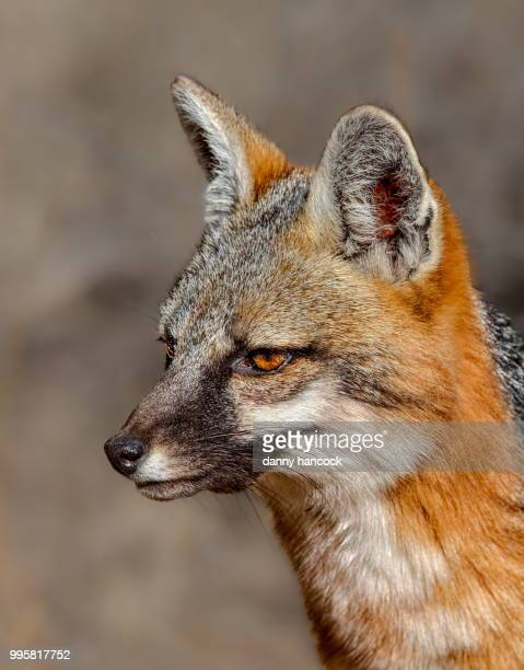 gray fox portrait - gray fox stock photos and pictures