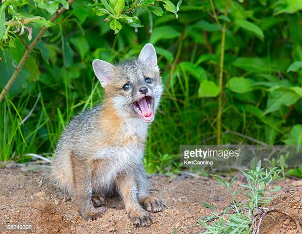 gray fox pup - gray fox stock photos and pictures
