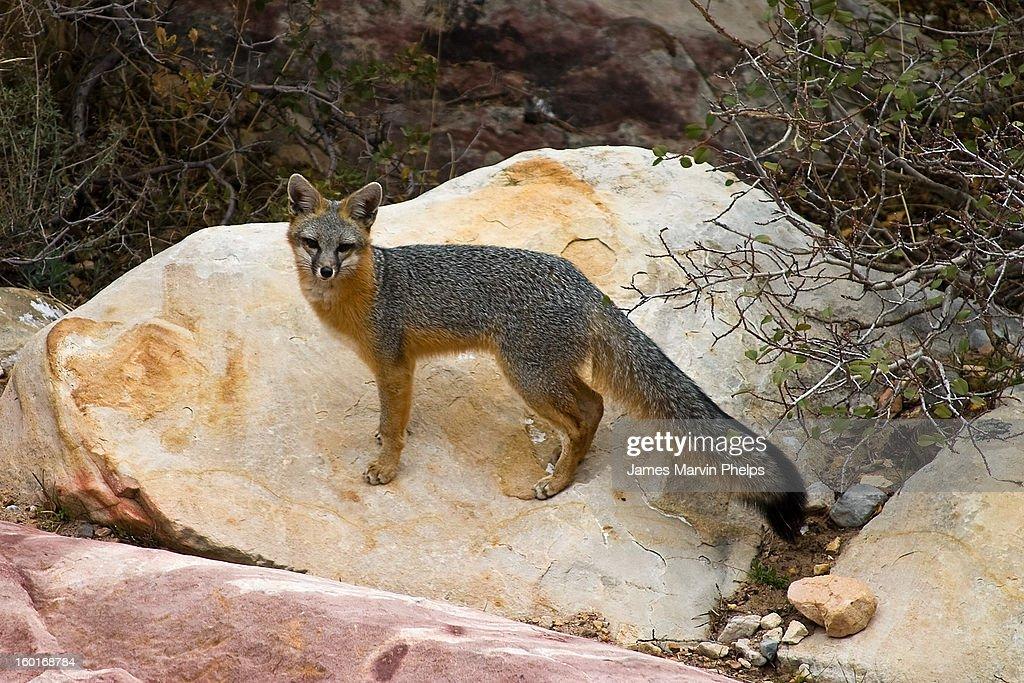 Gray Fox,  Red Rock Canyon, Nevada : Stock Photo