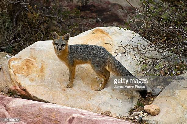 gray fox,  red rock canyon, nevada - gray fox stock photos and pictures