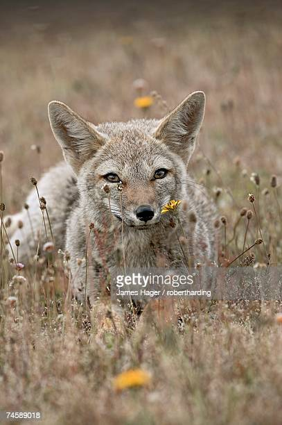 gray fox (patagonian fox) (pseudalopex griseus), torres del paine, chile, south america - lingering stock pictures, royalty-free photos & images