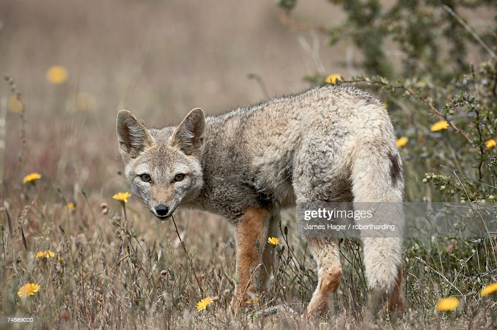 Gray fox (Patagonian fox) (Pseudalopex griseus), Torres del Paine, Chile, South America : Stock Photo
