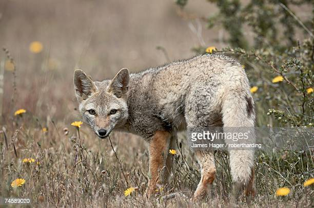 gray fox (patagonian fox) (pseudalopex griseus), torres del paine, chile, south america - gray fox stock photos and pictures