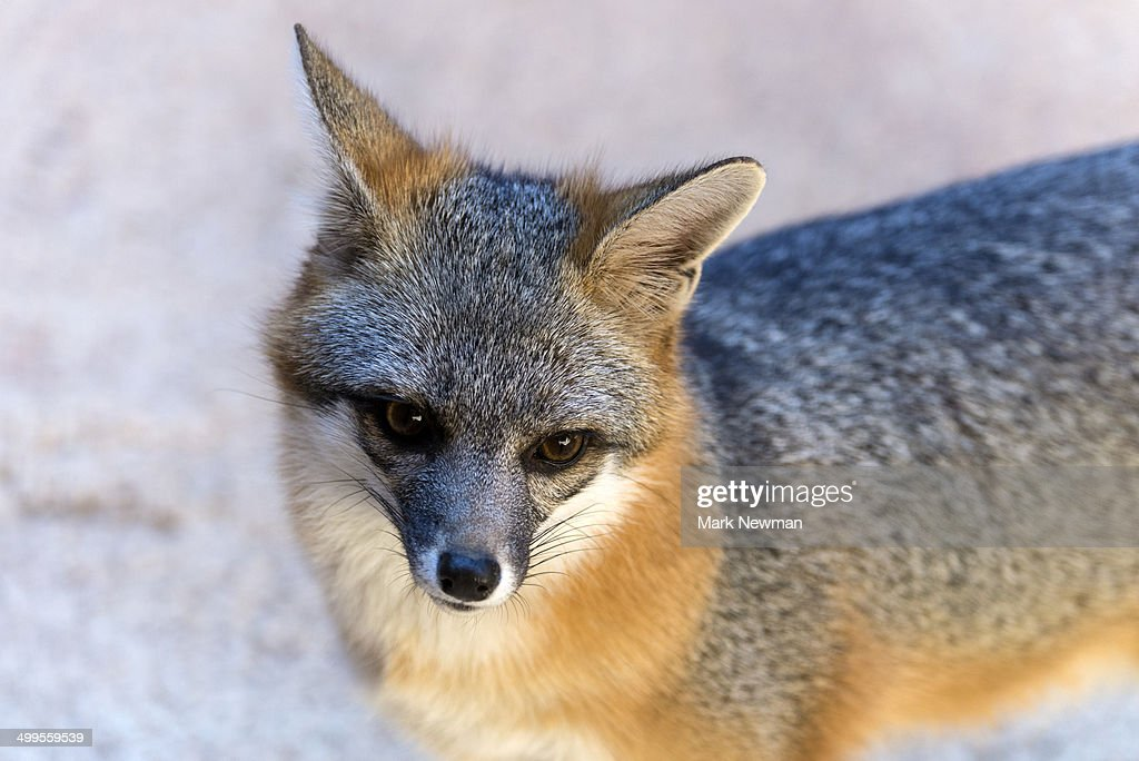 Gray fox, urocyon cinereoargenteus : Stock Photo