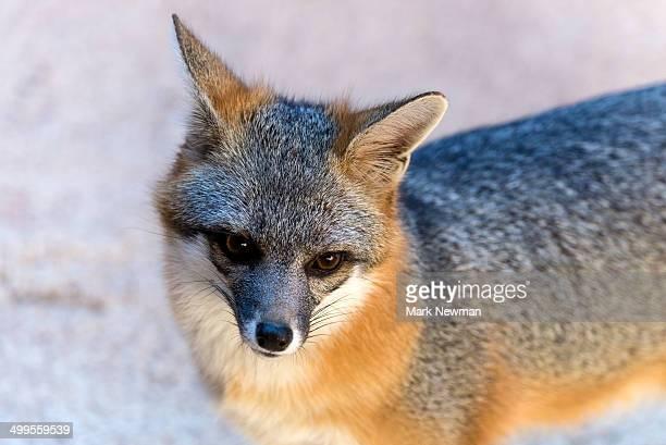 gray fox, urocyon cinereoargenteus - gray fox stockfoto's en -beelden