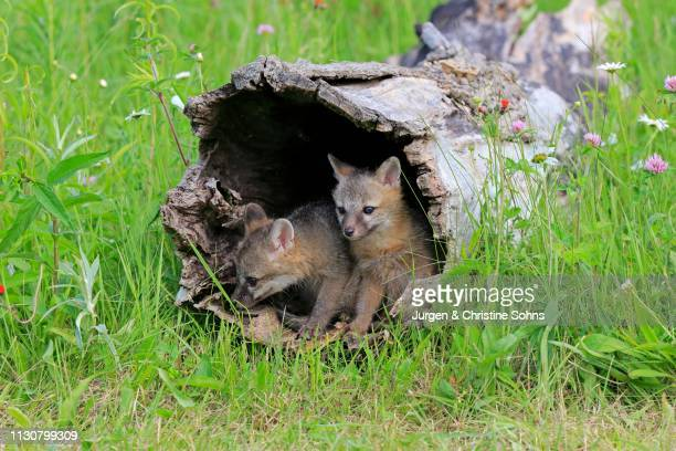 gray foxes (urocyon cinereoargenteus), two young animals looking curiously from a hollowed tree trunk in a flower meadow, pine county, minnesota, usa - gray fox stock photos and pictures