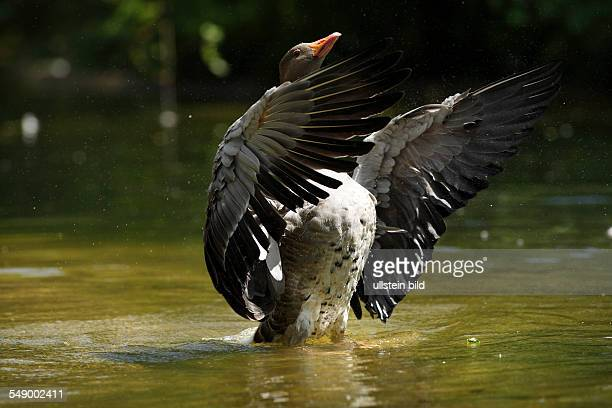 Gray Goose standing up and spreading it's wings in water