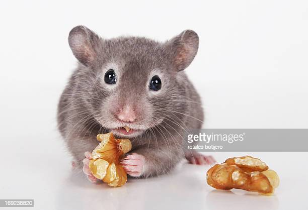 Gray hamster eating nut