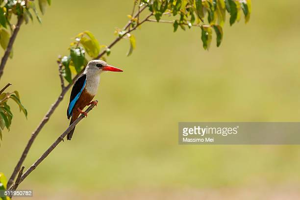 gray heade kingfisher - gray headed kingfisher stock pictures, royalty-free photos & images