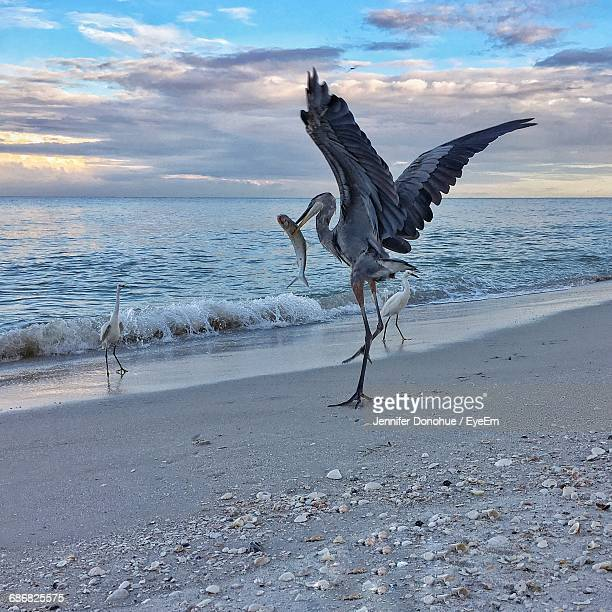 Gray Heron And Little Egrets At Beach During Sunset