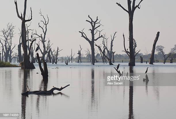 a gray heron, ardea cinerea, rests on a dead tree in a lake. - alex saberi stockfoto's en -beelden