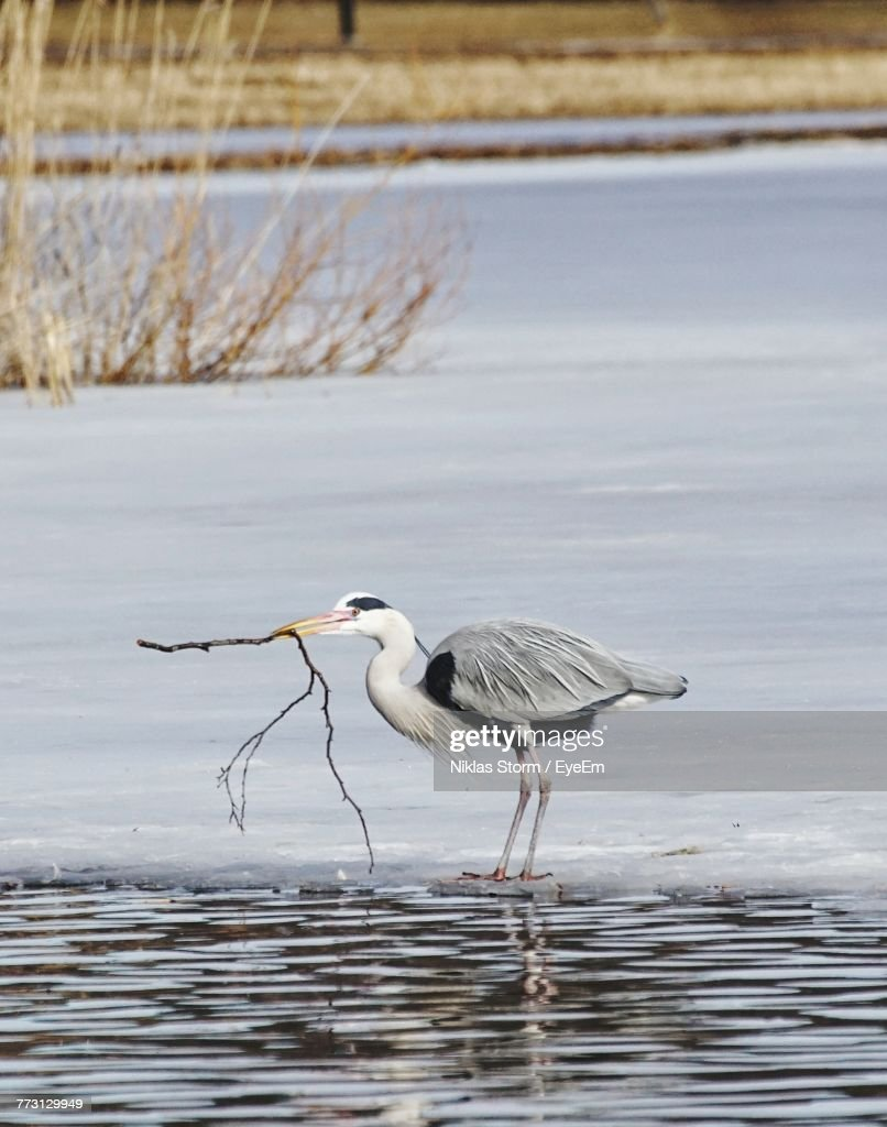 Gray Heron Carrying Stick While Perching On Rock Amidst River : Photo