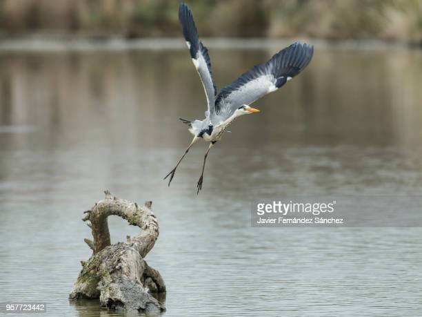 a gray heron (ardea cinerea) flies from a trunk over a lagoon. - サントマリードラメール ストックフォトと画像