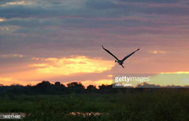 a gray heron flies over the pantanal. - alex saberi photos et images de collection