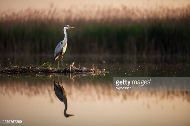 gray heron in wilderness at a lake. - water bird stock pictures, royalty-free photos & images