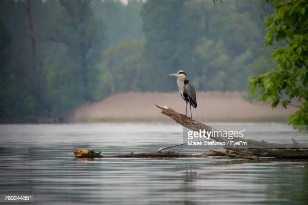 gray heron perching on driftwood - marek stefunko stockfoto's en -beelden