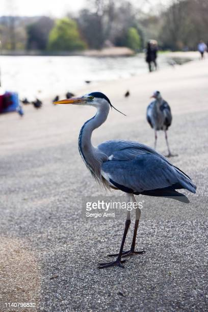 gray heron profile view - sergio amiti stock pictures, royalty-free photos & images