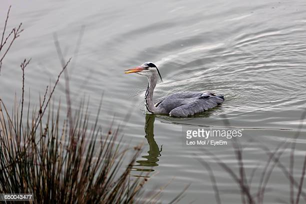 Gray Heron Swimming In Pond