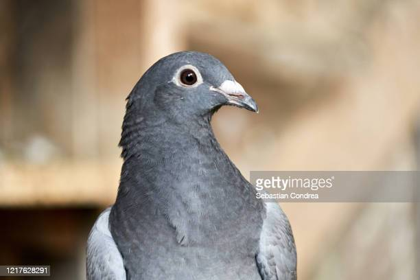 gray homer pigeon head close up view. - beak stock pictures, royalty-free photos & images