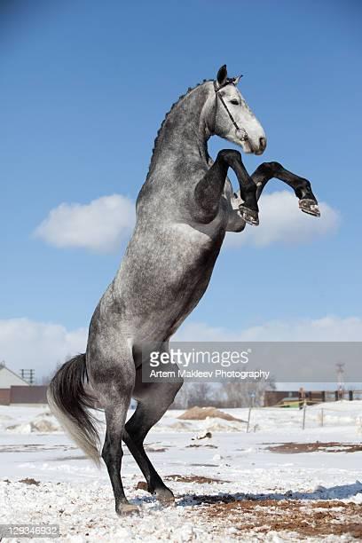 Gray horse standing