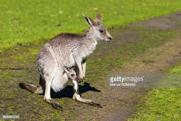 Gray Kangaroos, Cowes Nature Park, Australia