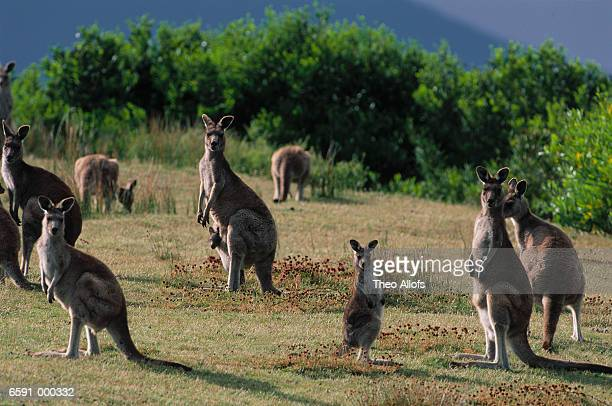 Gray Kangaroos on Meadow Hill