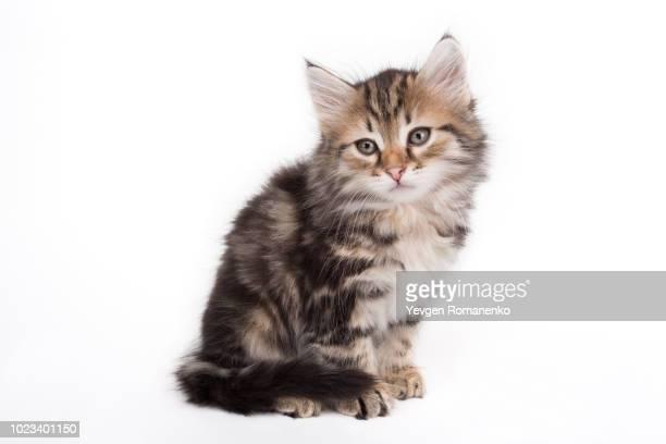 gray kitten isolated on white background - gatto soriano foto e immagini stock