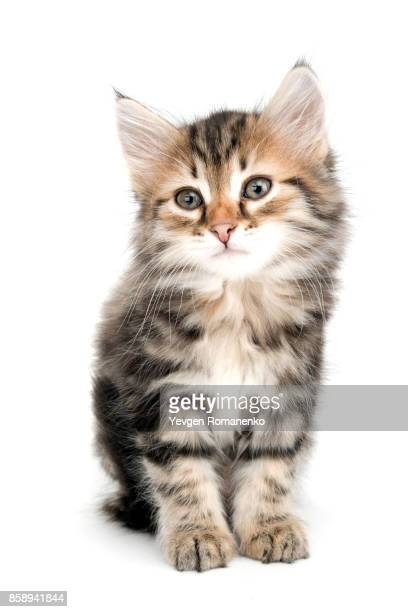 gray kitten isolated on white - tabby stock pictures, royalty-free photos & images