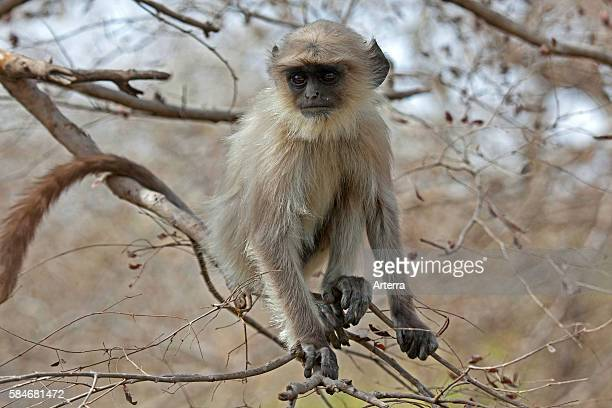 Gray langur / Hanuman langur juvenile in the Ranthambore National Park Sawai Madhopur Rajasthan India