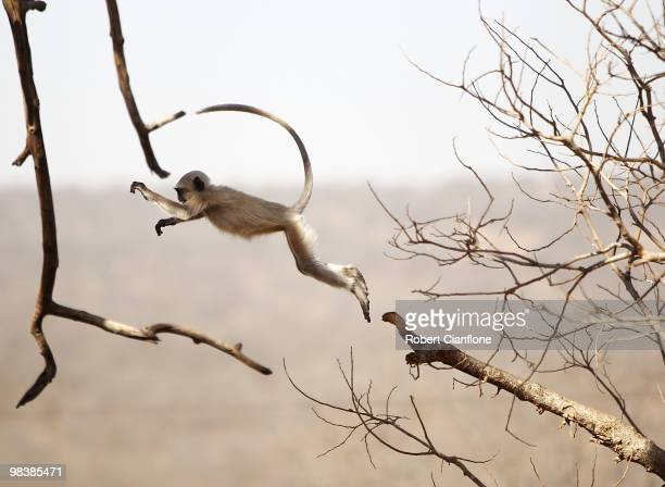 Gray langur leaps from a tree branch at the Jaigarh Fort on April 10 2010 in Jaipur India