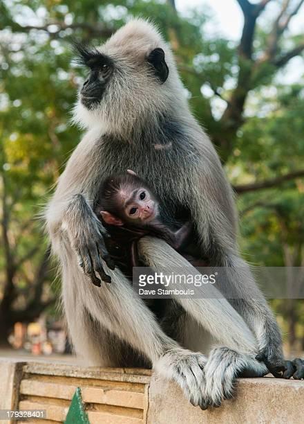 Gray langur monkey and baby in Kataragama, Sri Lanka