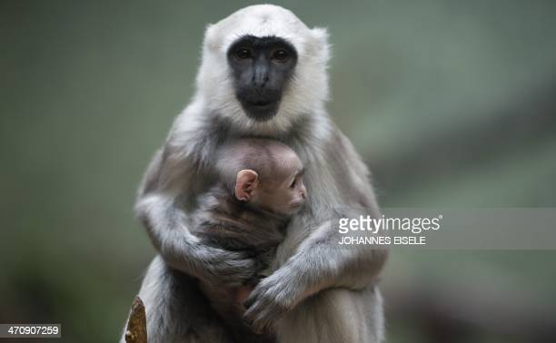 Gray langur mother Sally holds her baby in its enclosure in Berlin's Zoo on February 21 2014 in Berlin Gray langurs live in a community in which a...