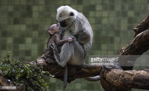 Gray langur mother Sally plays with her baby in its enclosure in Berlin's Zoo on February 21 2014 in Berlin Gray langurs live in a community in which...
