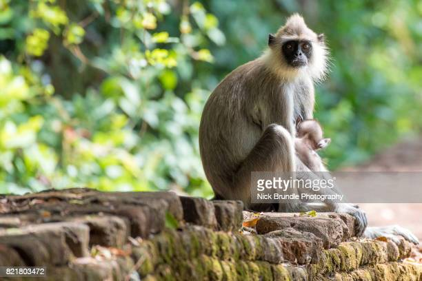 Gray langur sitting on ancient ruins, Ancient City of Sigiriya, Sri Lanka