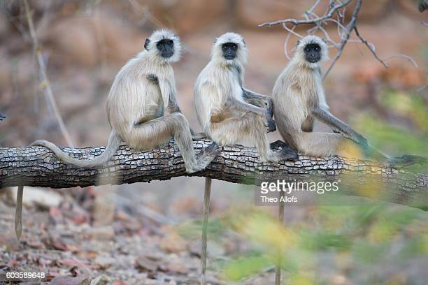 gray langurs perched on tree limb - bandhavgarh national park stock pictures, royalty-free photos & images